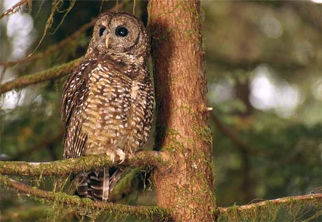 Northern Spotted Owl resting in tree